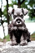 Miniature Schnauzer Puppy Posters - Mini Schnauzer Poster by Stephanie Frey