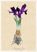 Mini Mixed Media Prints - Miniature Iris Print by Jim Emmons