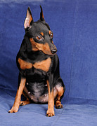 Konstantin Gushcha - Miniature Pinscher on...