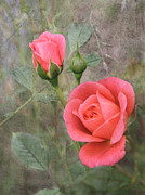 Miniature Photos - Miniature Roses by Angie Vogel