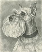 Pup Drawings Framed Prints - Miniature Schnauzer Framed Print by Lena Auxier