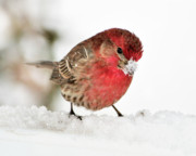 House Finch Photos - Mining for Food by Betty LaRue
