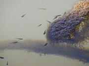 Minnows Feeding On Algae Print by Terry Cobb