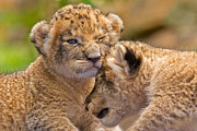 Khao Kheow Open Zoo Prints - Minor Collision Print by Ashley Vincent