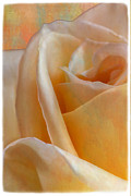 Linda Dunn Art - Mirage Rose by Linda Dunn