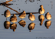 Marie  Cardona - Mirrored Dowitchers