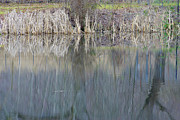 Bulrushes Prints - Mirrored Reflections Print by Marilyn Wilson