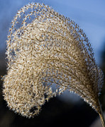 Michael D. Friedman Framed Prints - Miscanthus Sinensis III Framed Print by Michael Friedman