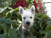 Dogs Mixed Media - Miss Daisy - Westie Puppy by Photography Moments - Sandi