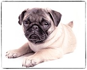 Pug Framed Prints - Miss You Framed Print by Edward Fielding