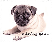 Pug Photos - Missing You... by Edward Fielding