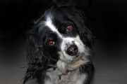 Dog Photos Posters - Missy Poster by Skip Willits