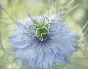 Blue Flowers Photos - Misty Love by Kim Hojnacki