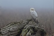 Canada Art Pyrography Prints - Misty Morning Snowy Owl Print by Daniel Behm