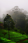 Misty Tea Plantations In Nuwara Eliya  Print by Jenny Rainbow