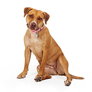 Mixed Breed Female Large Dog Print by Susan  Schmitz