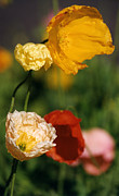 Robert Lozen Metal Prints - Mixed Color Poppies Metal Print by Robert Lozen