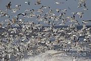 Neil Bowman FLPA - Mixed Gull Flock