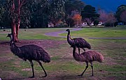 Emu Originals - Mob of Emus by Blair Stuart