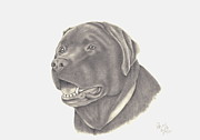 Chocolate Lab Drawings - Mocha by Patricia Hiltz