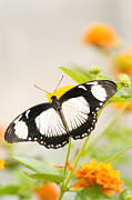 Selective Soft Focus Prints - Mocker Swallowtail Print by Anne Gilbert