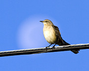 Bird On A Wire Prints - Mocking Bird Moon Print by LaMarre Labadie