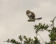 Allen Sheffield - Mockingbird