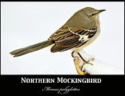 A Gurmankin - Mockingbird in Winter...