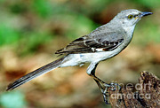 Mockingbird Framed Prints - Mockingbird Framed Print by Millard H. Sharp