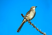 Yuma Framed Prints - Mockingbird Framed Print by Robert Bales