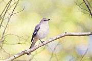 Mockingbird Framed Prints - Mockingbird Framed Print by Scott Pellegrin