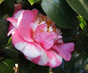 Camellia Japonica Photo Framed Prints - Modest Beauty Framed Print by Denise Clark