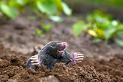 Mole Prints - Mole in ground Print by Michal Bednarek