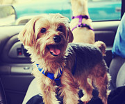 Dog Portraits Prints - Mollys Road Trip Print by Laurie Search