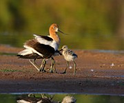 Ruth Jolly - Mom and baby Avocet