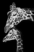 Blackandwhite Photo Metal Prints - Mom and Baby Giraffe  Metal Print by Adam Romanowicz