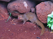 Hawai Originals - Mom and baby mongoose by Elaine Haakenson