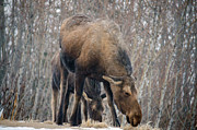 Winter Photos Posters - Mom and Young Moose Poster by Debra  Miller