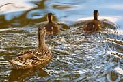 Nick  Biemans - Mom Mallard swimming with her ducklings