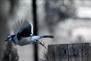 Bluejay Metal Prints - Moment Metal Print by Valerie  Warren