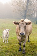 Bovine Animals Prints - Momma and Baby Cow Print by Edward Fielding