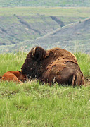 Bison Mixed Media Prints - Momma nuzzles Print by Frank  Vargo