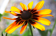 Blank Greeting Cards Prints - Moms Black Eyed Susan Print by Judy Palkimas