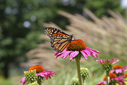 Aster  Originals - Monarch and Asters ne322 by Tony Weatherman
