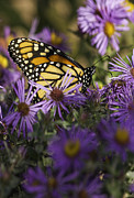 Aster  Framed Prints - Monarch and Asters Framed Print by Thomas Young