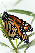 Milkweed Butterfly Posters - Monarch Beauty Poster by Carolyn Marshall