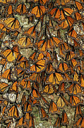 Animals And Insects Photos - Monarch Butterflies Wintering by Thomas Marent