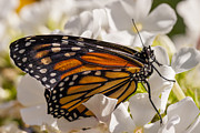 Papilionidae Prints - Monarch Butterfly Print by Adam Romanowicz