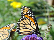 Acrylic Art Photo Prints - Monarch Butterfly Art Prints Butterflies Nature Print by Baslee Troutman Nature Fine Art Prints