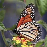Barbara Smith Metal Prints - Monarch Butterfly Metal Print by Barbara Smith